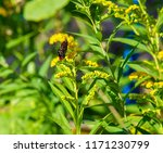 flower of solidago commonly... | Shutterstock . vector #1171230799