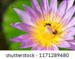 blooming purple water lily or...   Shutterstock . vector #1171289680