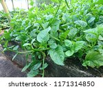 these are the green stemmed... | Shutterstock . vector #1171314850
