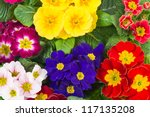 Assorted Spring Primulas....