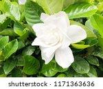 white puddle flowers  gardenia...   Shutterstock . vector #1171363636