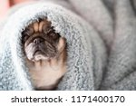 clear old pug sit down looking... | Shutterstock . vector #1171400170