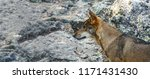 profile view of canis lupus... | Shutterstock . vector #1171431430