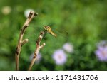 dragonfly on a branch. macro... | Shutterstock . vector #1171431706