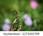 dragonfly on a branch. macro... | Shutterstock . vector #1171431709