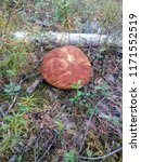 a beautiful big mushroom...   Shutterstock . vector #1171552519
