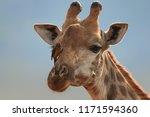 portrait of southern giraffe ... | Shutterstock . vector #1171594360