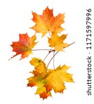 branch of autumn maple leaves... | Shutterstock . vector #1171597996