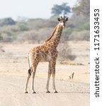 single young giraffe  giraffa... | Shutterstock . vector #1171633453
