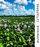 field of common water hyacinth...   Shutterstock . vector #1171655446