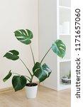 monstera palm in white interior ... | Shutterstock . vector #1171657060