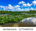 beautiful water hyacinths...   Shutterstock . vector #1171660510