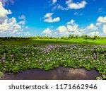field of purple water hyacinths ...   Shutterstock . vector #1171662946