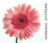 beautiful pink gerbera flower... | Shutterstock . vector #1171701346