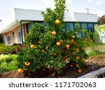 tangerine tree in the garden of ... | Shutterstock . vector #1171702063