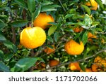 mandarins on the tree. | Shutterstock . vector #1171702066