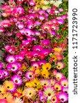 a lot of mix livingstone daisy  ...   Shutterstock . vector #1171723990