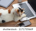 Stock photo cat playing a laptop computer or notebook on wooden table it s seeing at mobile phone for 1171735669