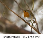 robin perched on a branch in... | Shutterstock . vector #1171755490