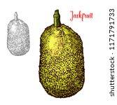 jackfruit exotic fresh fruit... | Shutterstock .eps vector #1171791733