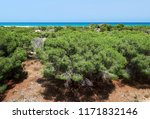 pine trees and turquoise... | Shutterstock . vector #1171832146