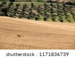 view of olive groves and... | Shutterstock . vector #1171836739