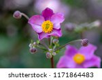 anemone hupehensis japonica...   Shutterstock . vector #1171864483