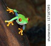 Stock photo red eye frog agalychnis callidryas in terrarium 117187393