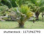 african oil palm in field    Shutterstock . vector #1171962793