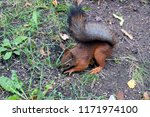 cute red squirrel with fluffy... | Shutterstock . vector #1171974100