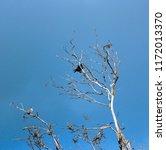 sleek shiny  australian black ... | Shutterstock . vector #1172013370