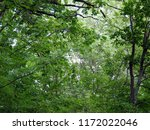deciduous forest in its green... | Shutterstock . vector #1172022046