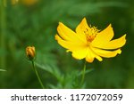yellow cosmos or cosmos... | Shutterstock . vector #1172072059