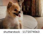 Cute Brown Pomeranian Home Dog...