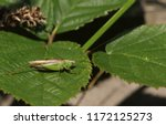 a pretty long winged conehead... | Shutterstock . vector #1172125273