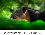 Tapir in nature. central...