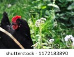 paterson's curse with chicken... | Shutterstock . vector #1172183890