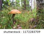 edible mushrooms  boletus red   ... | Shutterstock . vector #1172283709