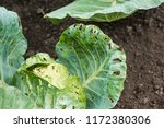 cabbage damaged by insects is... | Shutterstock . vector #1172380306