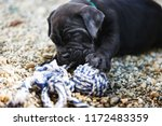 Stock photo cute one month old cane corso puppy plays with rope toy outside selective focus 1172483359