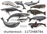whales color sketch set. big... | Shutterstock .eps vector #1172488786
