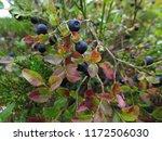 ripe blueberries in the swedish ... | Shutterstock . vector #1172506030