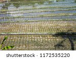 rice fields in bali  indonesia. ... | Shutterstock . vector #1172535220
