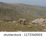 lurcher dog exercising on... | Shutterstock . vector #1172560003