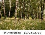 white flowers in a birch grove | Shutterstock . vector #1172562793