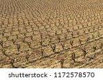 Vineyard Field At Noon In La...