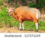 Banteng  Red Bull In Rainforest ...
