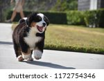 Stock photo bernese mountain dog puppy 1172754346