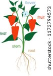 parts of plant. morphology of...   Shutterstock .eps vector #1172794573
