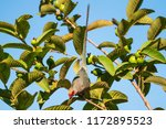 red faced mousebird sitting on ... | Shutterstock . vector #1172895523
